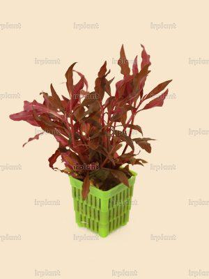 Alternanthera Rosaefolia (2)